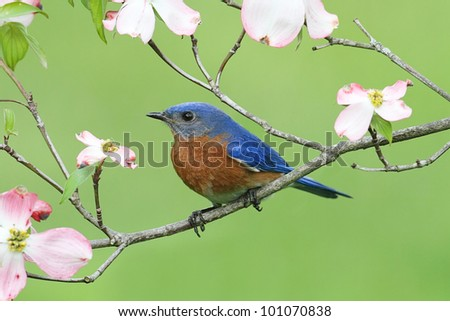 Male Eastern Bluebird (Sialia sialis) with pink Dogwood flowers