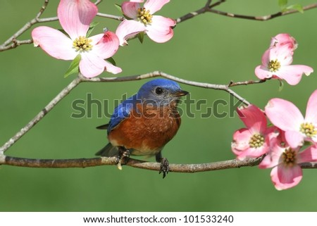 Male Eastern Bluebird (Sialia sialis) with pink Dogwood flowers