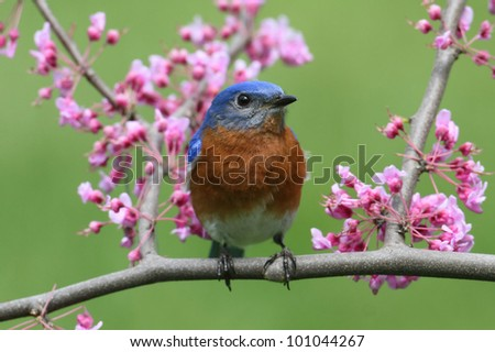 Male Eastern Bluebird (Sialia sialis) with pink flowers