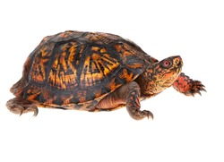 Male Eastern Box Turtle - United States North America Land Turtle