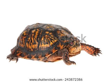 Male Eastern Box Turtle - United States North America Land Turtle