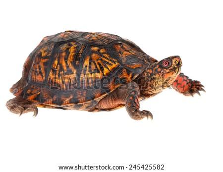 male eastern box turtle  ...