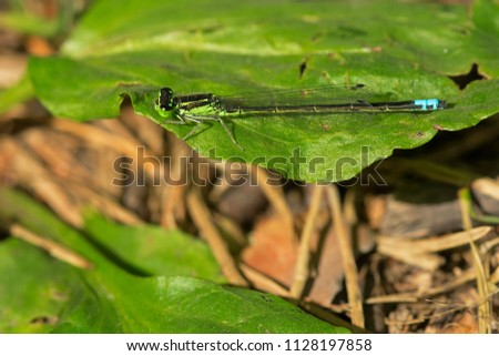Male Eastern Forktail Damselfly resting on a leaf. High Park, Toronto, Ontario, Canada. #1128197858