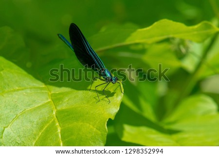 Male Ebony Jewelwing Damselfly perched on a leaf. Also known as the Black-winged Damselfly. Edwards Gardens, Toronto, Ontario, Canada. #1298352994
