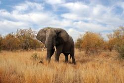 Male elephant Kruger park South Africa