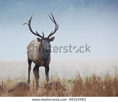 Male elk in Smokey mountains in Autumn