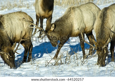 Male elk testing their territory.