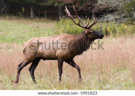 Male Elk with Antlers in Field of Grass - stock photo