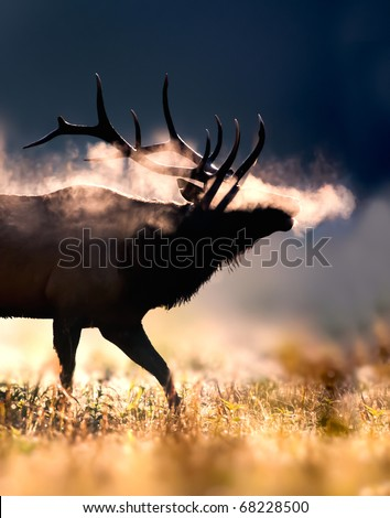 Male Elk with full set of antlers blows frosty breath in early morning light