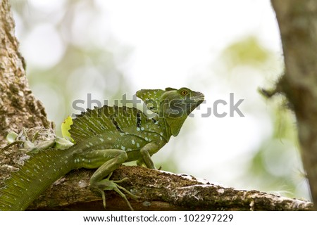 Male Emerald Basilisk, beautiful and ornate crested lizard, perched on a tree, Costa Rica