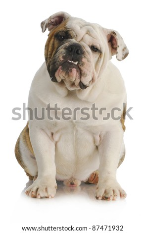 male english bulldog sitting looking at viewer on white background - 9 months old