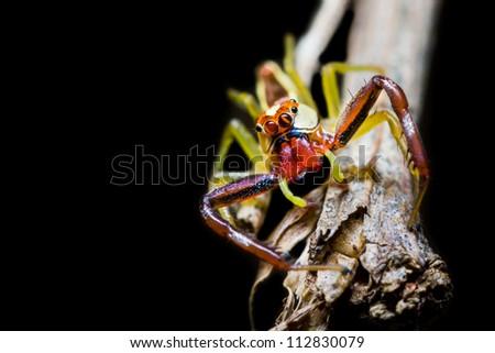 Stock Photo Male Epocilla calcarata is jumping Spider