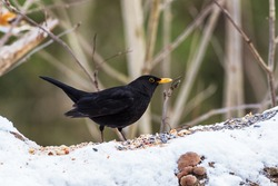 Male eurasian blackbird (Turdus merula) on the bird feeder on cold winter  day. Common bird in Finland, even winter.