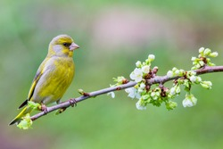 Male Eurasian greenfinch (Chloris chloris) on a blossoming branch