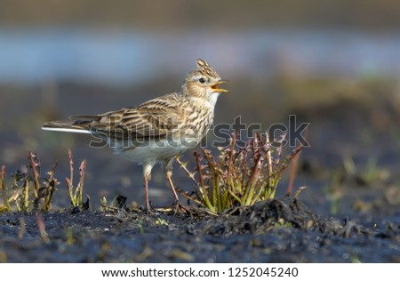 Male Eurasian skylark sings his loud song as he sits on the dirty and muddy ground  #1252045240