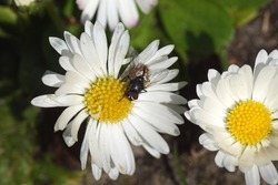 Male face fly, autumn housefly (Musca autumnalis), family Muscidae on a flower of common daisy Bellis perennis, family Asteraceae. Spring, March, Dutch garden. Netherlands.