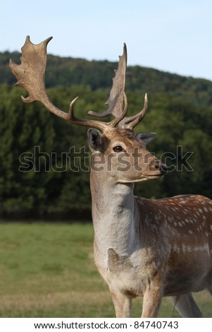 Male fallow deer in the pasture