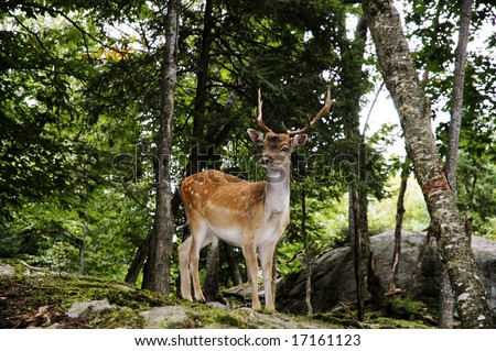 Male Fallow deer perched on a large stone