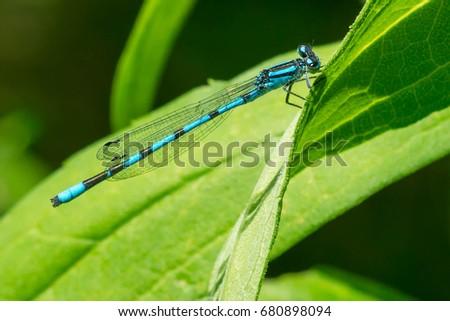 Male Familiar Bluet Damselfly perched on a leaf.