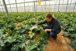 Male farmer applying insects for biological pest control in an organic zucchini crop in a greenhouse in Almería. Integrated pest management technique in the field of crops. Biological, organic food