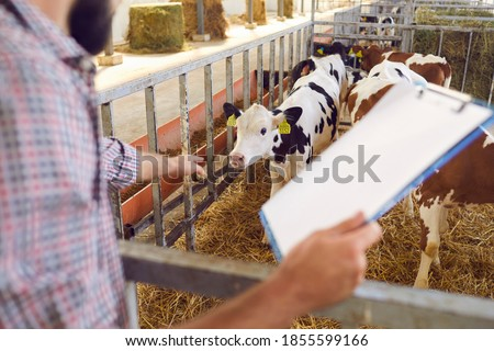 Male farmer monitors the breeding of calves on the farm and records the data about them. Farmer holds a tablet and points his finger at the calf. Dairy farming, animal care, veal production.