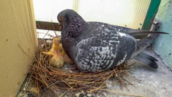 Male, father pigeon take care of two little newborn chicks in the nest on the balcony by feeds them by returning food from the esophagus , next to box.