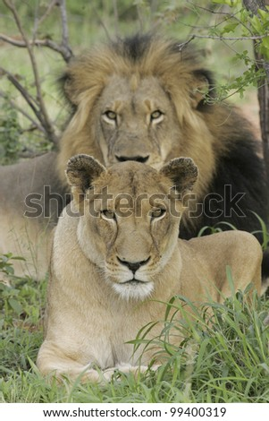 Male & Female African Lions (Panthera leo) South Africa