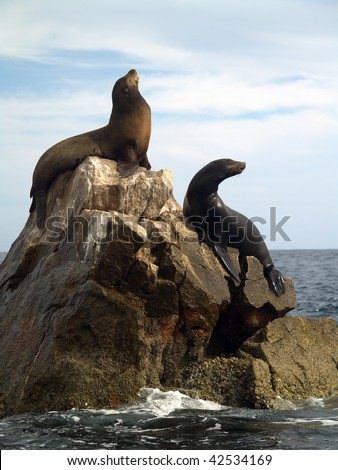 Male & female California Seals commonly called Sea Lions bark on the southern most point of Land's End at the tip of the Baja in Mexico.