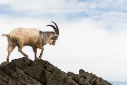 Male feral mountain goat walking on rocks above sea. Long-haired billy goat at Brean Down in Somerset, part of a wild herd