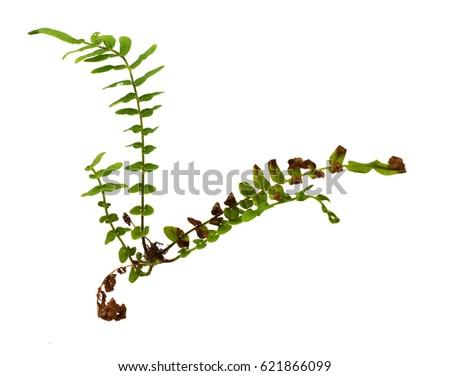 Male Fern; Dryopteris; filix-mas