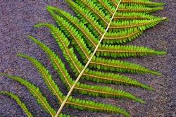 Male fern (Dryopteris filix-mas) - close up of fern leaf with spores