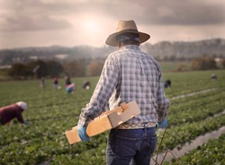 Male field worker with straw hat at strawberry farm walking with box for picking with other workers in the distance in morning haze.