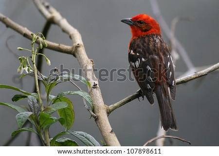 Male Flame Tanager (Tangara dorsirrayada) sitting on branch at Mirador de Quetzales, Costa Rica, Central America.