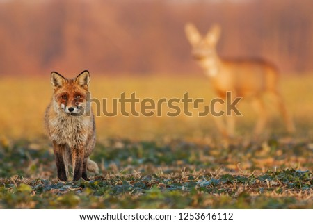 Male fox, vulpes vulpes, standing on the field and watching, roe deer, capreolus capreolus, doe walking in the background. Wildlife scenery with multiple species. Hunter and a prey in one picture.