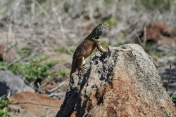 Male Galápagos lava lizard, Microlophus albemarlensis, also the Albemarle lava lizard, is a species of lava lizard endemic to the Galápagos Islands and belongs to the family of Iguana
