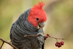 Male Gang Gang cockatoo (Callocephalon fimbriatum), a native Australian bird, perched in a tree eating berries