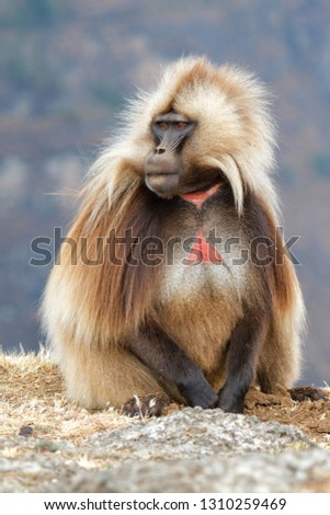 Male Gelada Baboon sitting - Simien Mountains National Park - Ethiopia