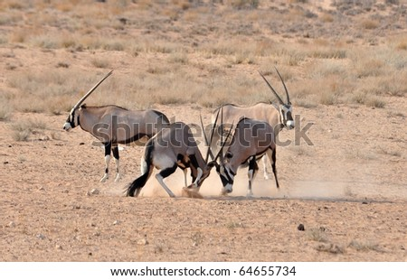 Male Gemsbok Antelope in the Kgalagadi Transfrontier Park, Southern Africa fighting in the dust to enforce the social structure.