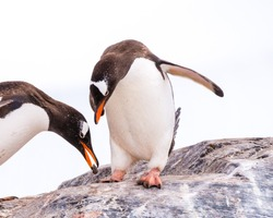 Male gentoo penguin offering stone to partner, who is bowing while standing on rock, Mikkelsen Harbour on Trinity Island, Antarctica
