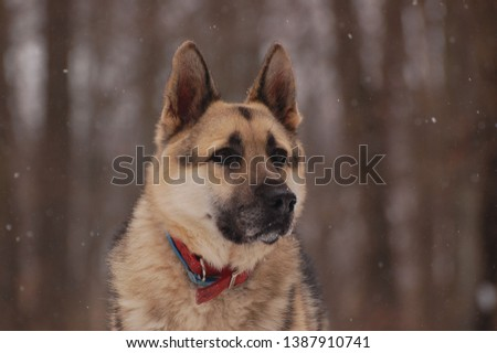 Male German Shepherd staring into distance with wooded background and snow gently falling.  #1387910741