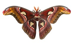 Male giant atlas silk moth, Attacus atlas, isolated on white background. Atlas moth is one of the largest moths in the world. It has snake head-like images on tips of wings and feather-like antennae