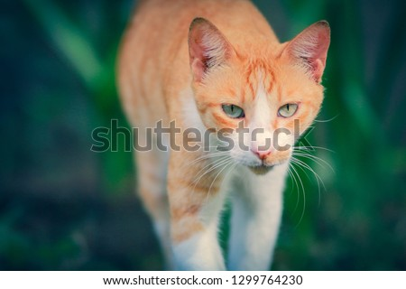 male ginger cat prowling