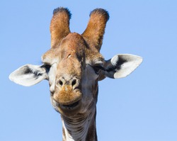 Male giraffe (Giraffa camelopardalis) head closeup portrait funny face appears to be laughing in South Africa