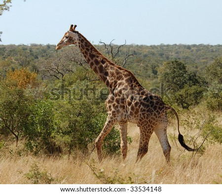 Male Giraffe with battle scars on the neck in the bushveld of Kruger Park, South Africa.