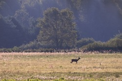 Male goat European Roe Deer Capreolus capreolus walks on a green meadow in the Stawy Milickie nature reserve, sunny meadow with wild animals