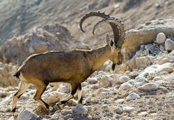 Male goat in desert of the Negev near kibbutz Sde-boker, Israel