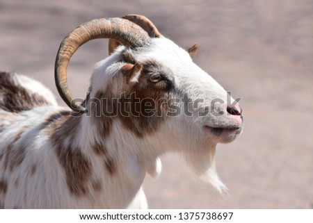Male Goat Portrait