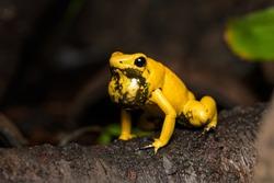 Male golden poison frog calling on a fallen log