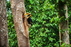 Male Great Hornbill feeding the female at the nest in the hollow of a large tree trunk. Khao Yai National Park, UNESCO World Heritage Site. Thailand.