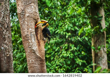 Male Great Hornbill feeding the female at the nest in the hollow of a large tree trunk. Khao Yai National Park, UNESCO World Heritage Site. Thailand. stock photo